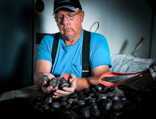 Ernie New grows specialty potatoes in rotation with quinoa. Looking through a bin of Purple Majesties, the crop is stored in a cool, dark storage shed to preserve the color and taste.